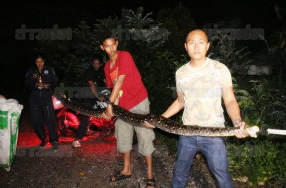 คอหวยจัดไป-งูเหลือมยักษ์-5-เมตร-เลื้อยเข้าบ้านที่ชลบุรี-16-11-58